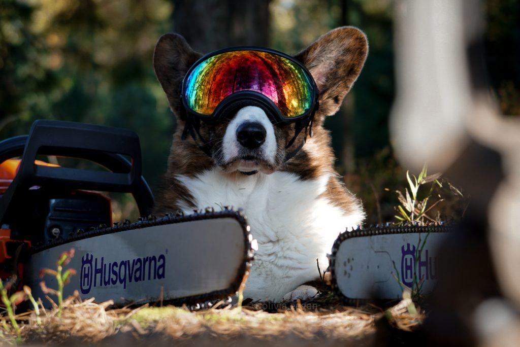 arbdog, welsh corgi cardigan, rexspecs, hundglasögon